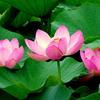 蓮の花トリオ