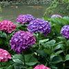 紫陽花と緋鯉