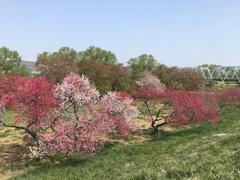 小布施の花桃