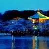 弁天堂と桜の夜景