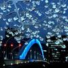 永代橋と大寒桜