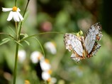 イシガケ蝶