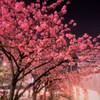 銀座の夜桜