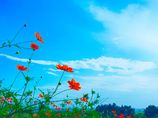 キバナコスモスの咲く丘