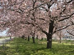 千曲川堤の一様桜