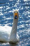 Swan Portrait♪