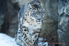 ユキヒョウ  雪豹 多摩動物公園