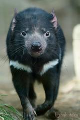 多摩動物公園 タスマニアデビル