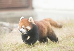 天王寺動物園 レッサーパンダ