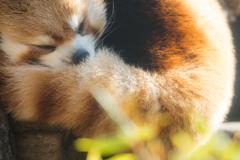 レッサーパンダ 多摩動物公園