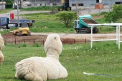 アルパカ牧場、拡張工事