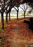 落葉する桜並木