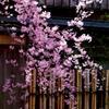 枝垂桜からむ
