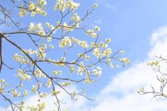 花水木 真っ白