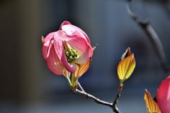 花水木 赤2