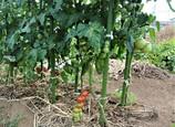 熟れ始めたトマト