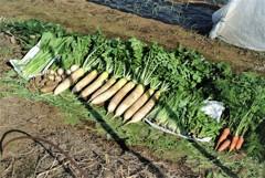 菜園・間引き収穫