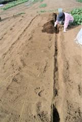 ジャガイモ植え付け風景