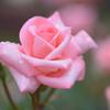 薔薇(9)