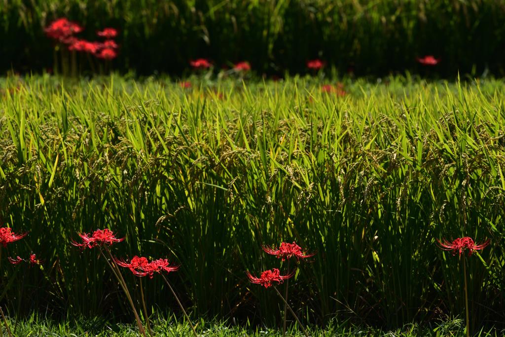 明日香村に秋が来た(24)