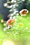 薔薇(24)