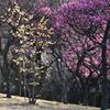 荒山公園の梅(1) 開花情報です。