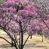 荒山公園の梅(3) 開花情報です。