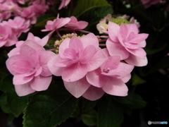 豊島園・紫陽花15
