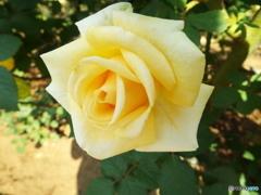 秋薔薇21