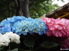 豊島園・紫陽花17
