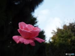 秋薔薇10