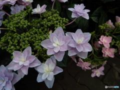 豊島園・紫陽花5