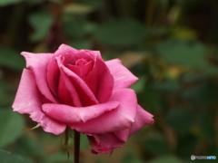 秋薔薇20