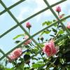 智光山公園・薔薇17
