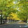 カナール銀杏並木18