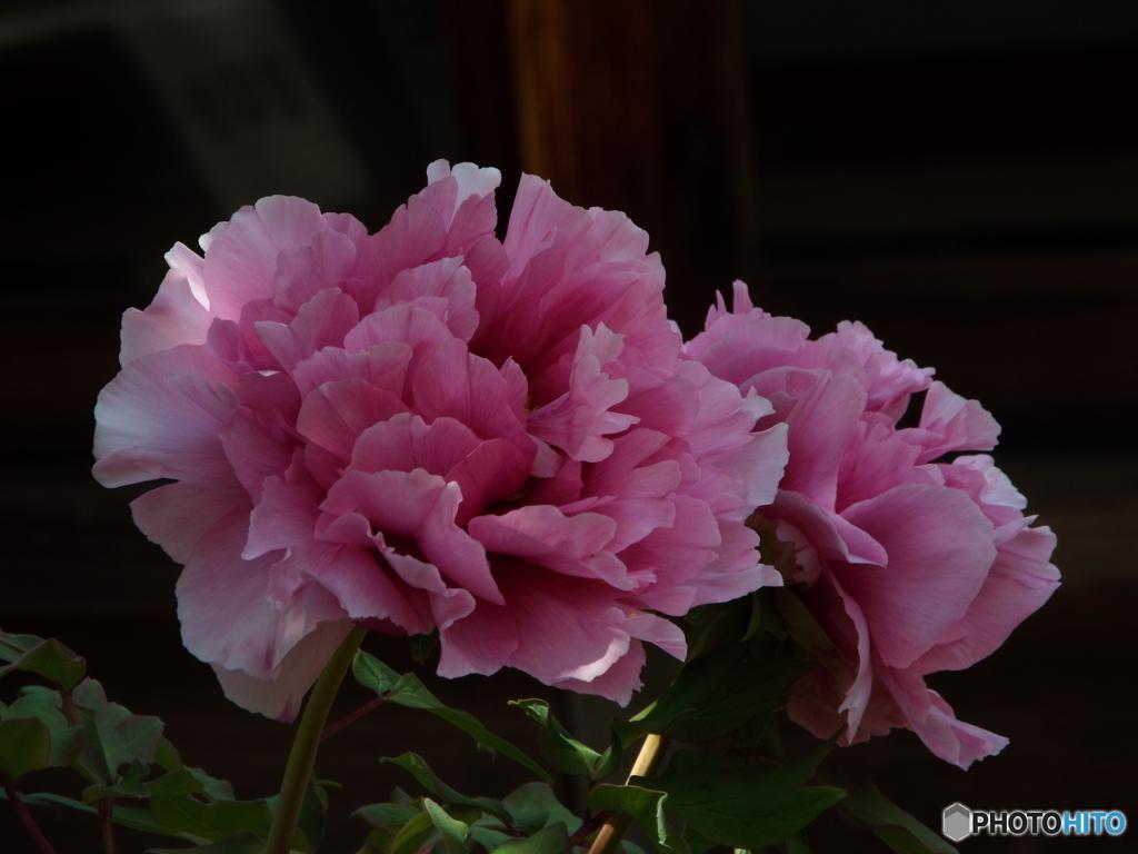 日本庭園牡丹4