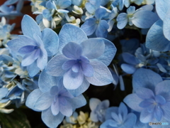 豊島園・紫陽花14