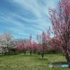 桜&花桃5