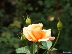 秋薔薇16