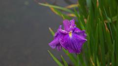 花菖蒲30_21 津の花(つのはな)