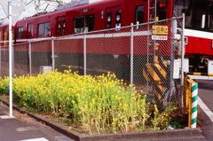 菜花と電車