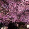 夜桜に包まれて。