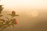 山茶花の咲くころ