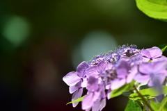 夢見る紫陽花♪