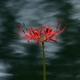 水際に咲く曼珠沙華