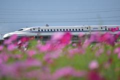 秋桜&新幹線(^^)