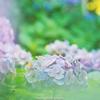 紫陽花鮮やかに