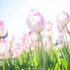 チューリップの花1