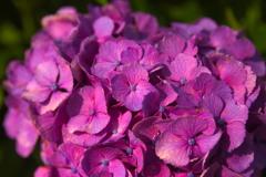 流行りに乗っかって、紫陽花を撮ってみました 6