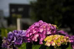 流行りに乗っかって、紫陽花を撮ってみました 5